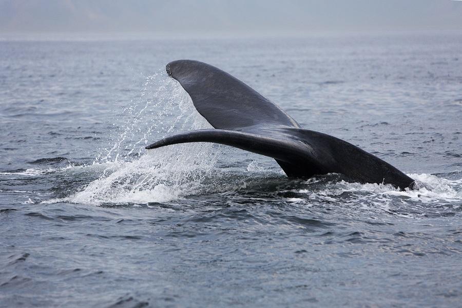 Observez les baleines franches en Patagonie